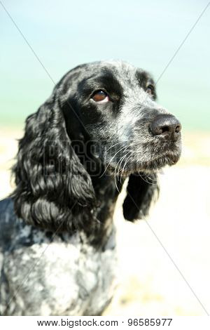 Russian spaniel outdoors