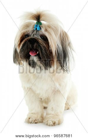 Cute Shih Tzu isolated on white