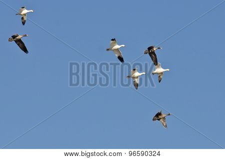 Snow Geese Flying With Greater White-fronted Geese In A Blue Sky