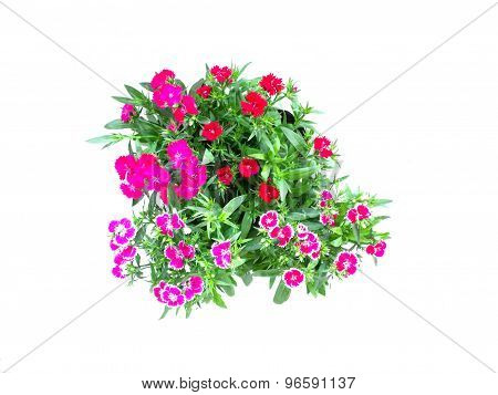 Home Flowers Isolated On A White Background