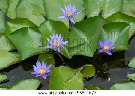Magenta waterlilies with green leaves