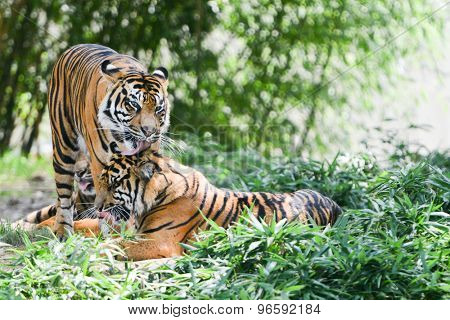 Tigers in forest