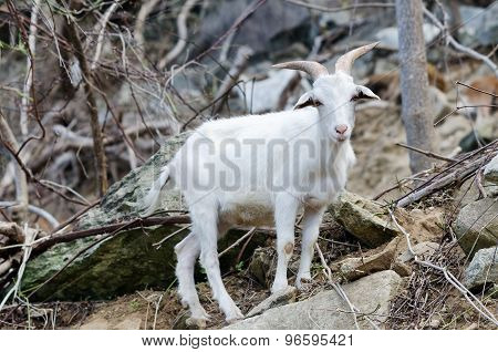 White mountain goat standing on a rock