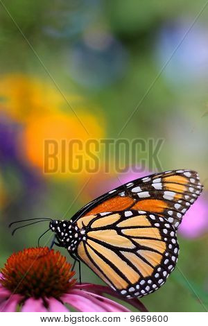 Monarch On A Pink Flower.