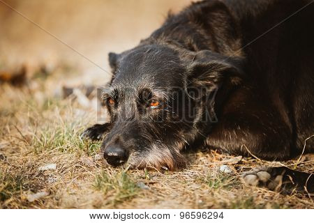 Small Size Black Mixed Breed Dog Resting In Dry Grass In Spring