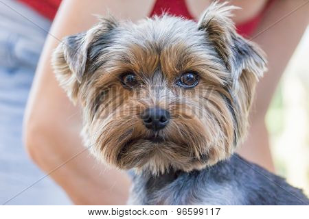 Yorkshire Terrier Is Ready For Cutting