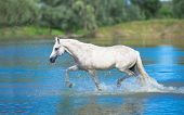 foto of wild horse running  - white horse is running in the lake - JPG