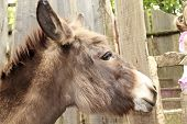 stock photo of headstrong  - donkey in a fence of the farm - JPG