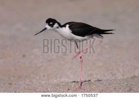 Black-Necked Stilt With Raised Leg At The Salton Sea