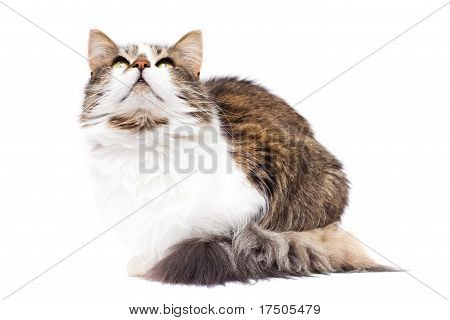 Curious Cat Looking Upwards Isolated On White Background