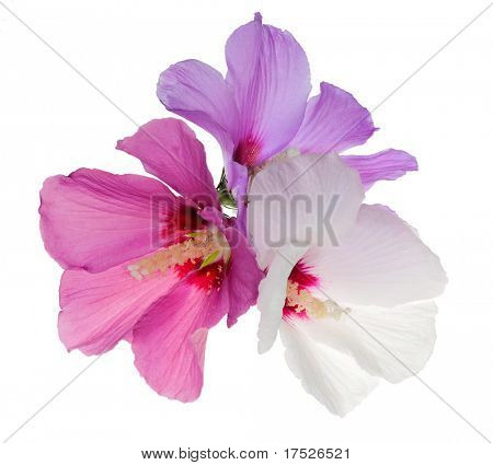three flowers isolated on white background