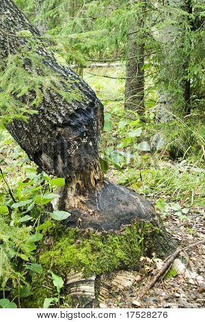 Ein Baum abgeholzt durch ein Biber