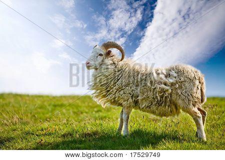 Una oveja en un potrero contra un cielo azul con luz de fondo.