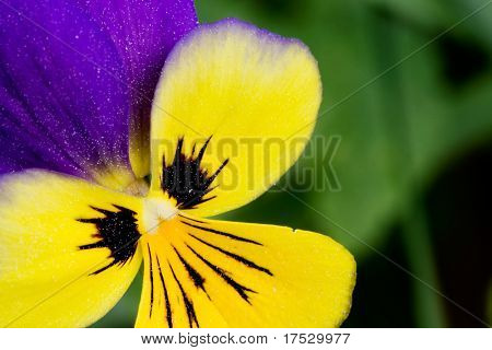 Johnny Jump Up flower or Heartsease macro latin: viola tricolor