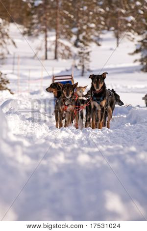 Sled dogs waiting in a winter landscape