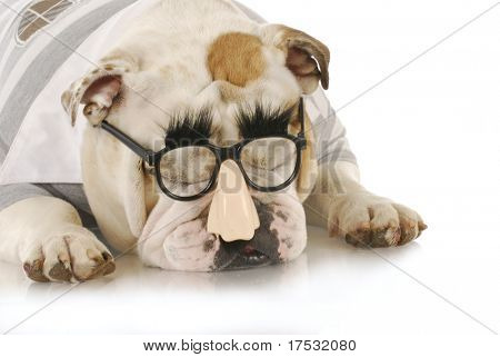 english bulldog wearing silly grouch marx glasses on white background