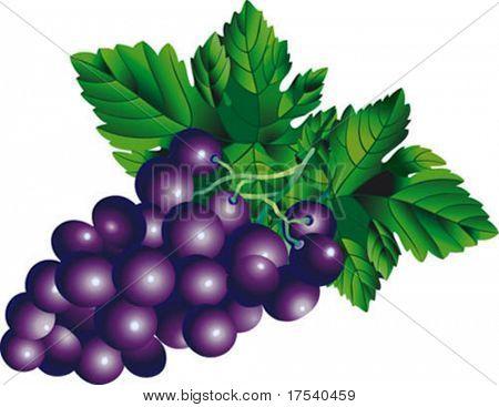 Vector de la imagen de un racimo de uvas