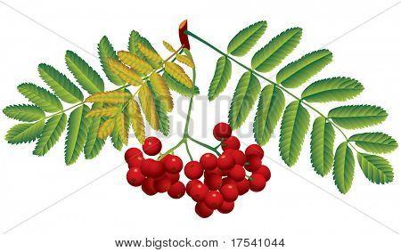 Vector image of red rowan