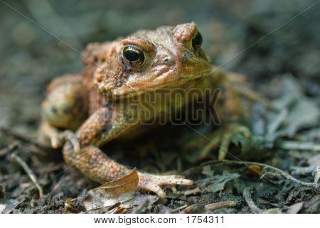 American Toad, Bufo Americanus