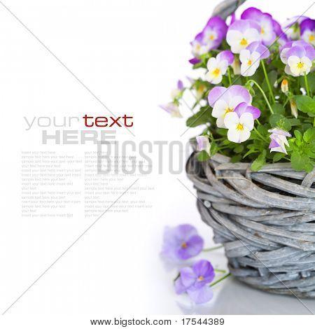 Nahaufnahme der bunten Viola Blüten in einem Korb mit Beispieltext