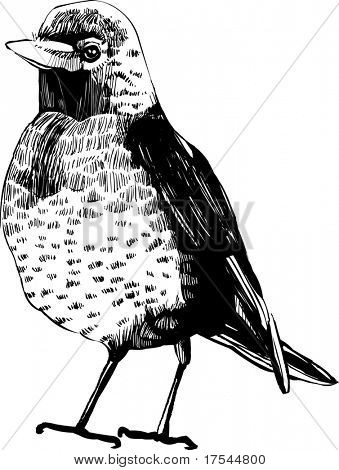hand-draw vector bird -  vintage bird illustrations