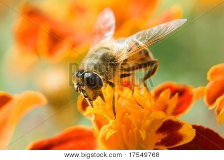 bee on the red flower