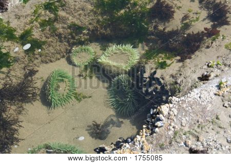 Tide Pool: Sea Anemones And Kelp