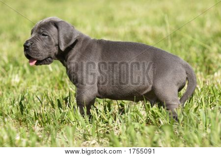 Puppy Great Danes
