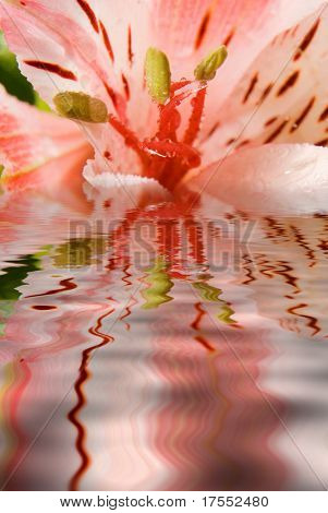 Beautiful pink lilly reflected in water