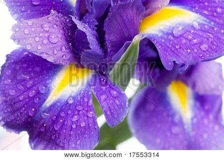 Beautiful fresh iris flowers with waterdrops isolated