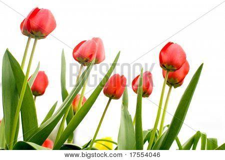 Schöne rote Tulpen Makro erschossen