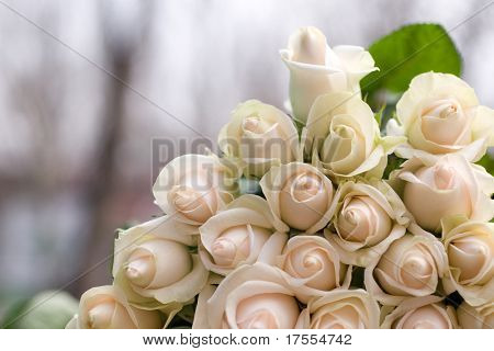 Beautiful pale roses macro shot