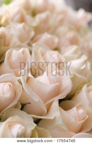 Macro de hermosas rosas pálidas tiro