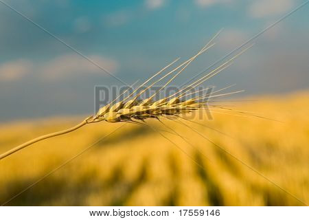 Beautiful background with golden wheat and blue sky with clouds