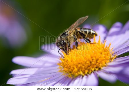Fine blue flower macro with bee harvesting honey