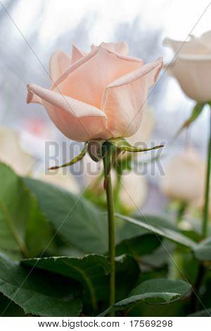 Pale roses background macro shot
