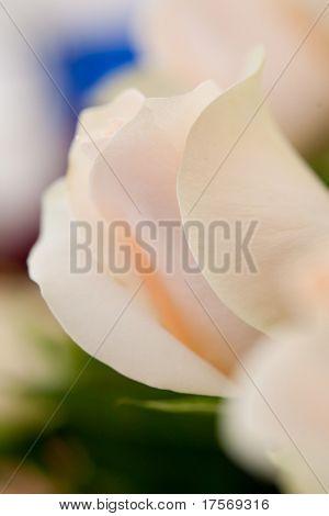 Pale roses blurred macro shot