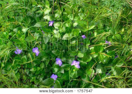 Violet Wild Flowers In Spring.