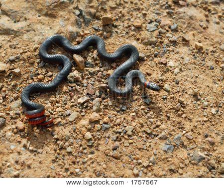 Anillo – Necked serpiente.