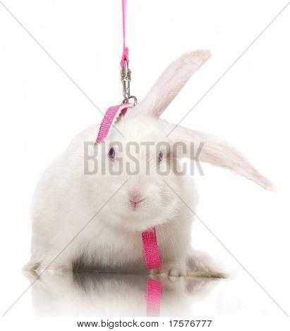 Flaumig, Waldohreule, weißes Kaninchen an der Rosa Leine over white background