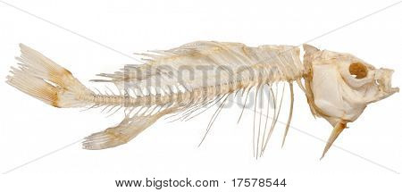Isolated skeleton of fish on a white background