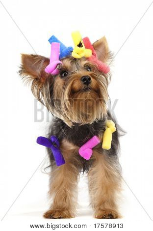 Shot of young Yorkshire Terrier dog over white background