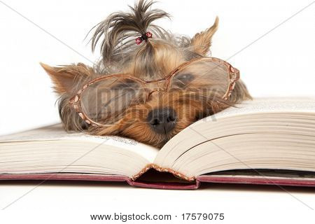Young Yorkshire Terrier on open book over white background
