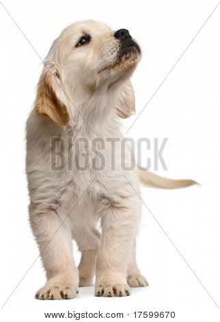 Golden Retriever puppy, 20 weeks old, standing in front of white background