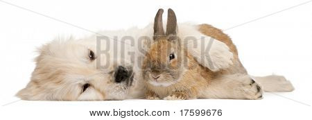 Golden Retriever puppy, 20 weeks old, and a rabbit lying in front of white background