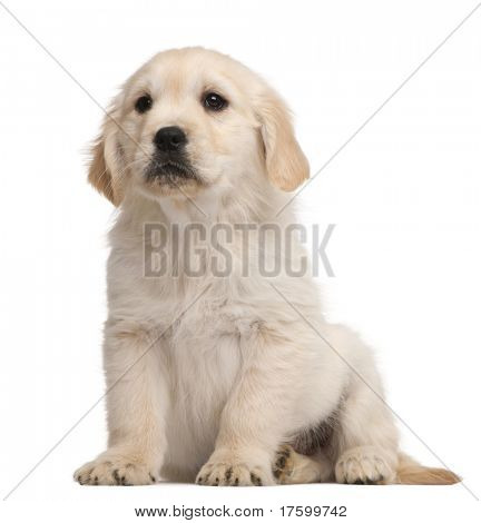 Golden Retriever puppy, 20 weeks old, sitting in front of white background
