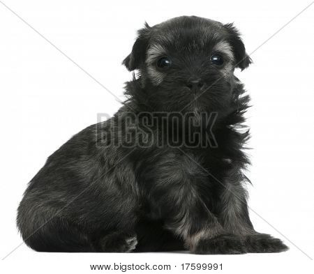 Lowchen or Petit Chien Lion puppy, 3 weeks old, sitting in front of white background
