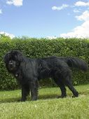 picture of newfoundland puppy  - A newfoundland dog in front of a hedge - JPG