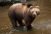 Kamchatka brown bear (Ursus arctos beringianus), also known as the Far Eastern brown bear. poster