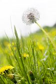 White fluffy dandelion on the meadow poster